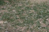 March hail in grass
