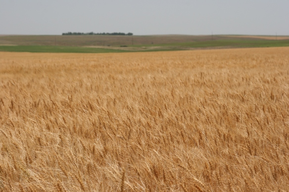 Wheat Almost Ready for Harvest