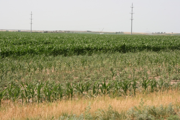 Dry Land Corn next to Irrigated Corn