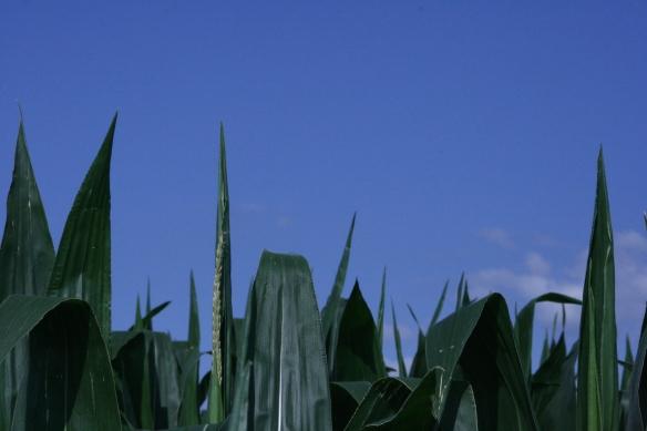 Corn Starting to Tassel