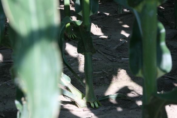 Corn Canopy