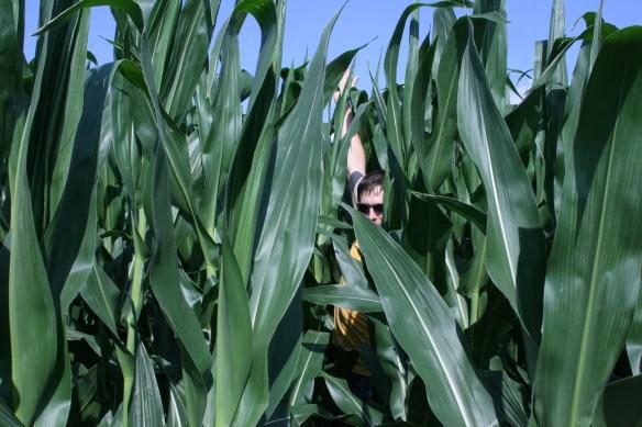 Tall Corn