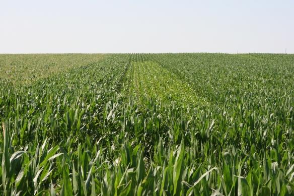 Corn Field Problems