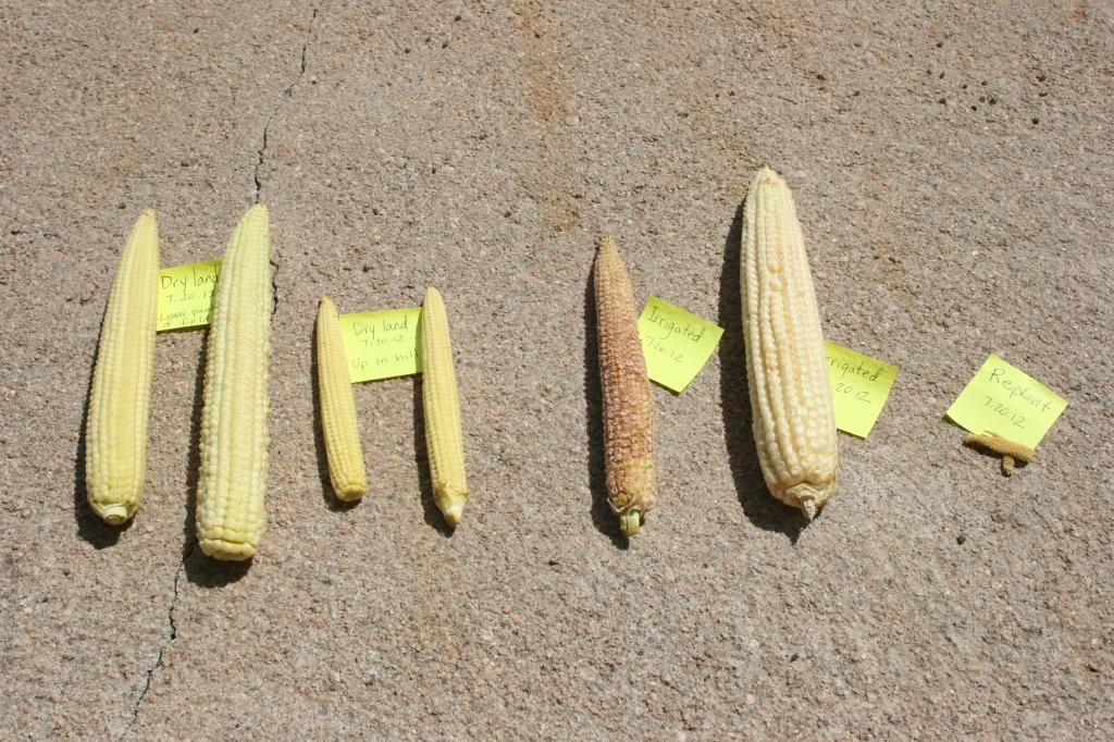 Corn Ear Compariosn