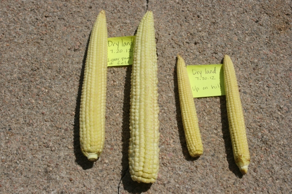 July Dry Land Ears