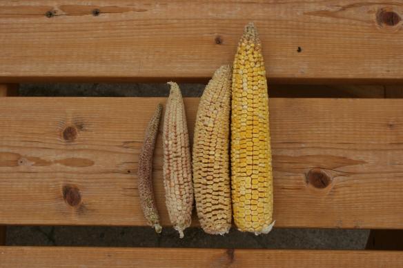 Corn Ears