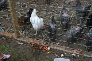Chicken Scraps