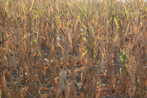 Dry Fall Corn