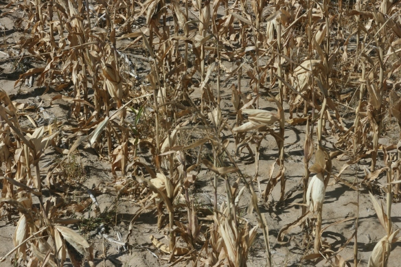 Dry Land Field After Harvest