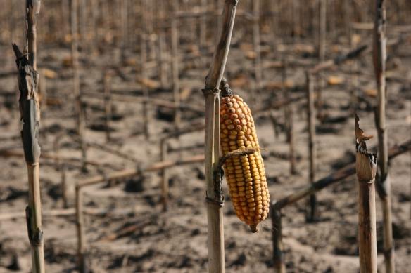 Burn Corn Stalk