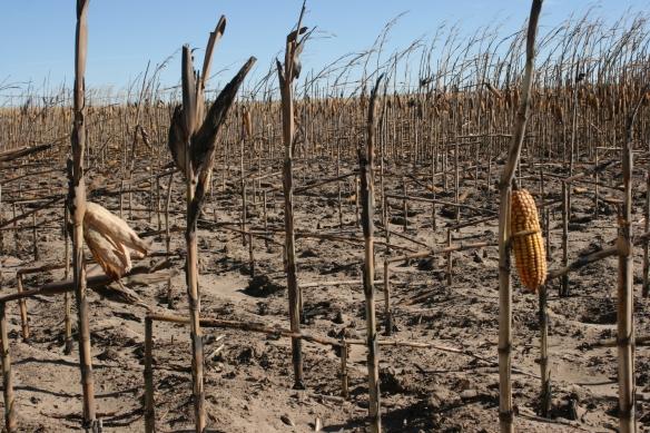 Burned Corn Stalks