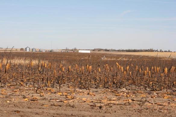 Burned Corn Field