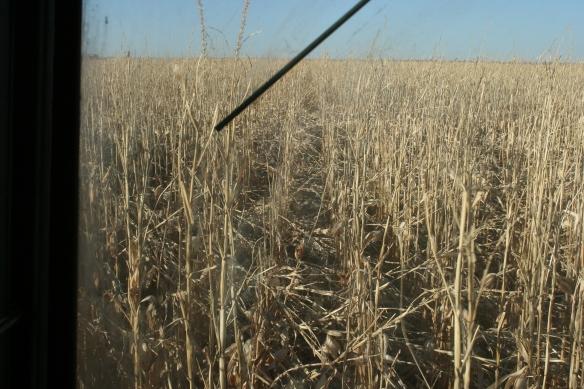 Wind Blown Corn Stalks