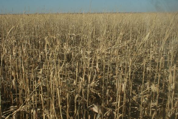 Wind Damaged Corn Field