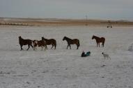 horses, sledding, dog