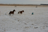 horses following a sled