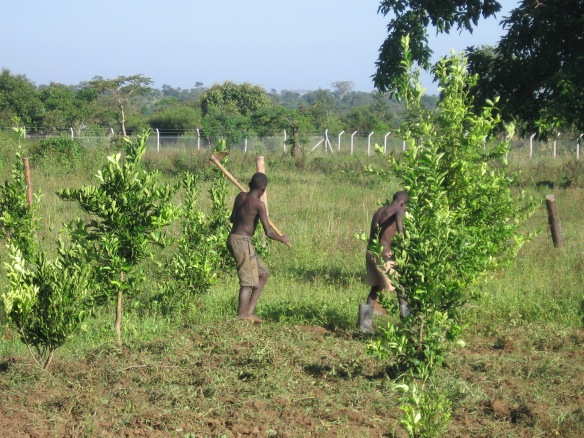 Uganda Orange Trees