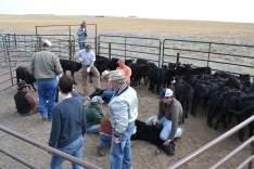 Here's the big picture of what's happening. They're working with a small group of calves in a small pen. In this picture you can see the three pairs of people holding calves all at the same time.