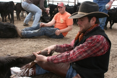 A real cowboy and a farmer working with cattle
