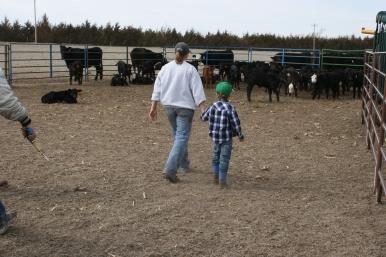 Going to get more calves