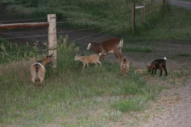 Nebraska Goats