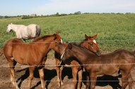 Foal Quarterhorses