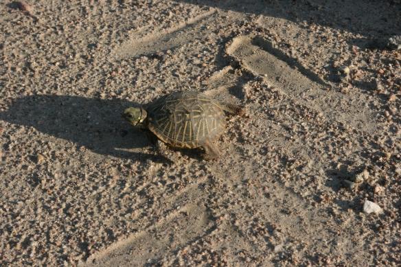 Nebraska turtle