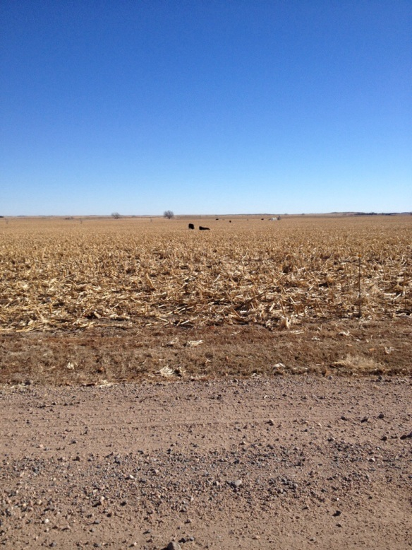Bulls grazing cornstalks
