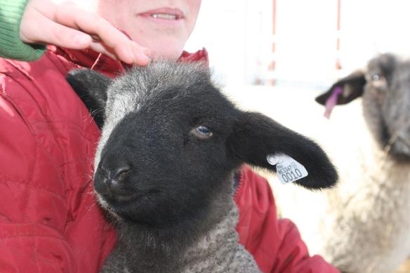 LIttle Lamb Face