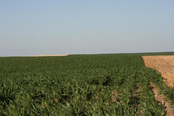 June Dry Land Corn