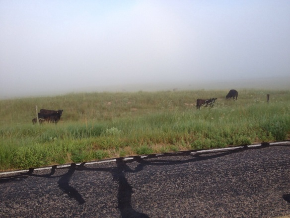 Calves in the Fog