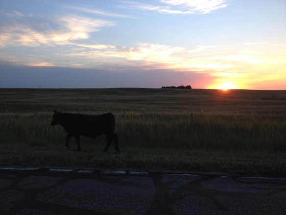 Calf and Sunset