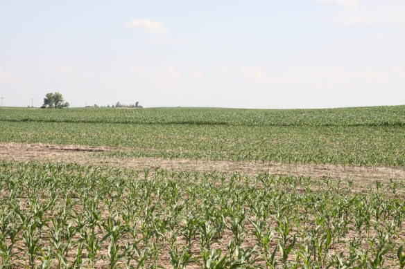 July Corn in Different Stages