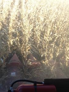 dryland harvest