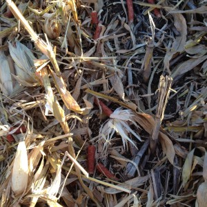 harvested corn stalks