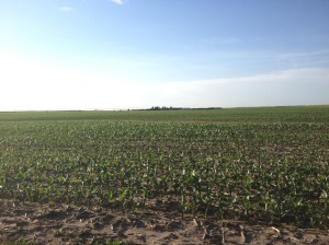 June Irrigated Corn