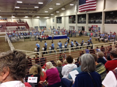 Sheep Showmanship