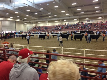 Cattle Showmanship
