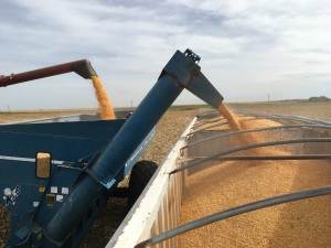combine to grain cart to semi