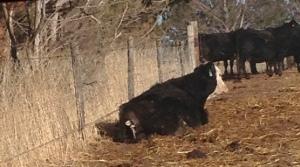 heifer calving
