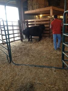 Heifer in barn