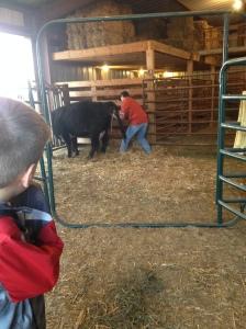 hand pulling a calf