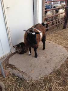 A fainting goat - just looking at him makes me chuckle