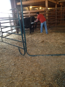 calf pulling contraption