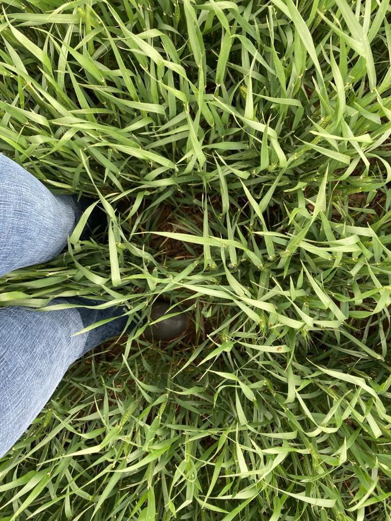 Thigh high wheat